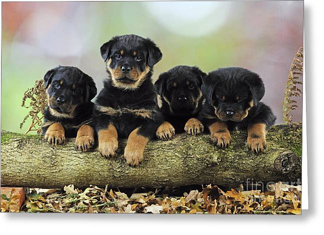 Canid Greeting Cards - Rottweiler Puppy Dogs Greeting Card by John Daniels