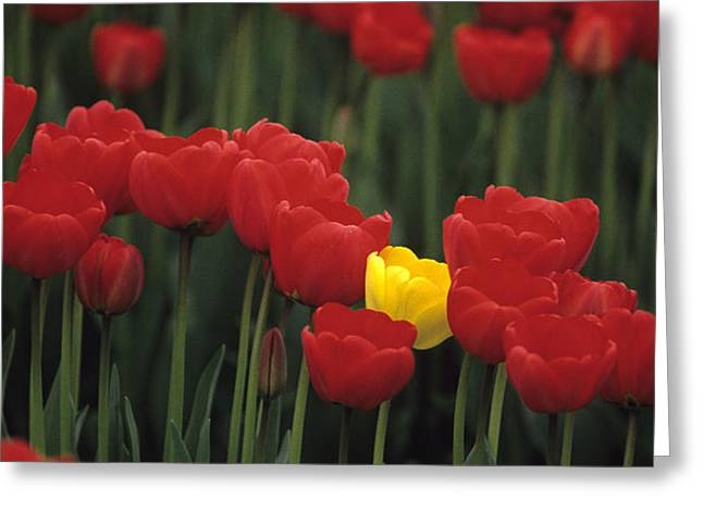 Rows of red tulips with one yellow tulip Greeting Card by Jim Corwin
