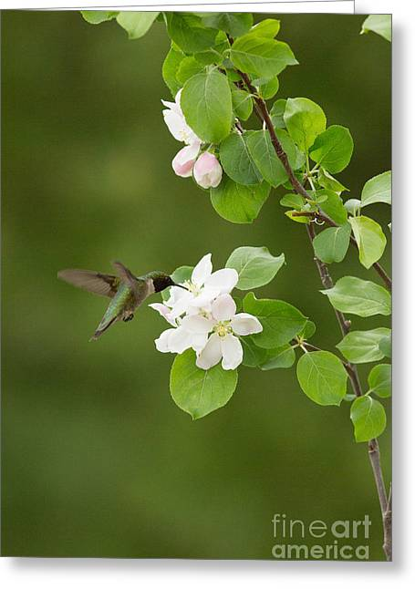 Archilochus Colubris Greeting Cards - Ruby-throated Hummingbird Greeting Card by Linda Freshwaters Arndt