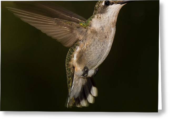 Spider And Fly Greeting Cards - Ruby Throated Hummingbird Greeting Card by Robert L Jackson