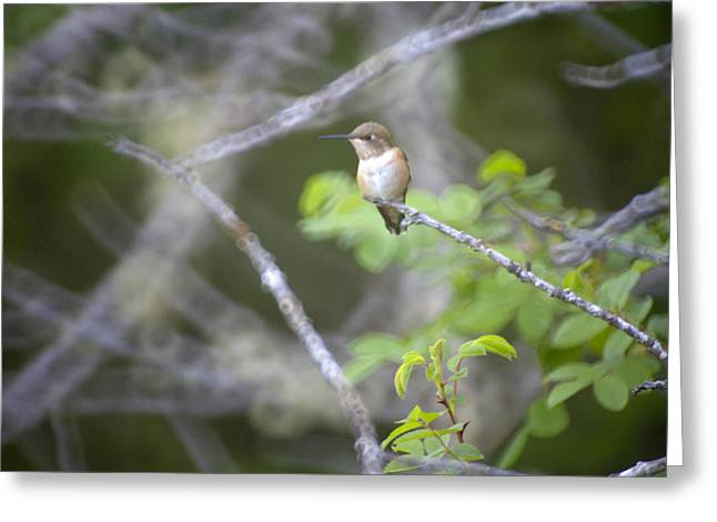 Rufous Hummingbird Greeting Card by Graham Foulkes