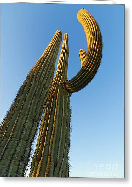 Arid Life Photographs Greeting Cards - Saguaro Cactus Sunrise at Saguaro National Park. Greeting Card by Jamie Pham