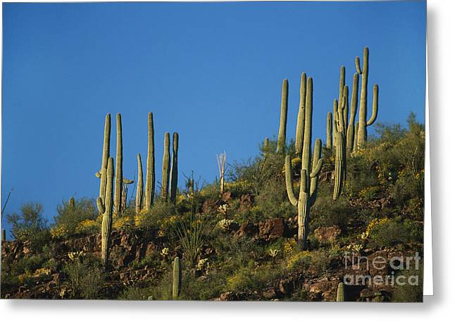 Saguaro National Park Greeting Card by David Davis