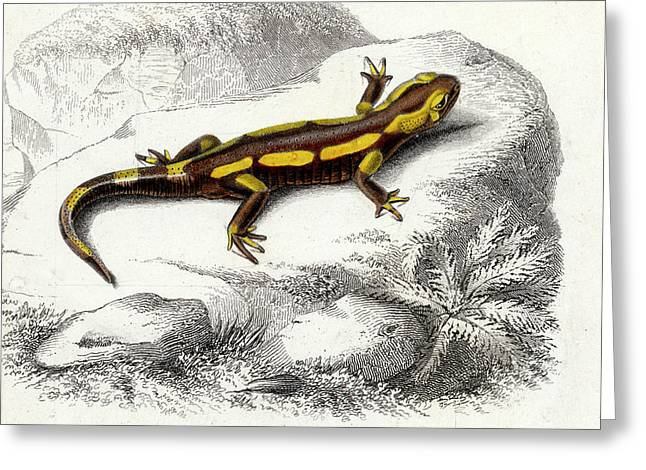 Salamander Greeting Card by Collection Abecasis