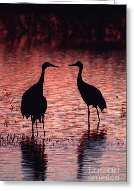 Sandhill Cranes Greeting Card by Steven Ralser