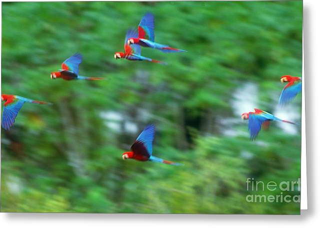 Scarlet Macaw Greeting Cards - Scarlet And Green-winged Macaws Greeting Card by Art Wolfe