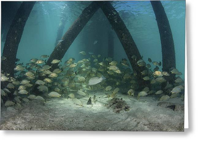School Of Grunt Fish Beneath A Pier Greeting Card by Ethan Daniels