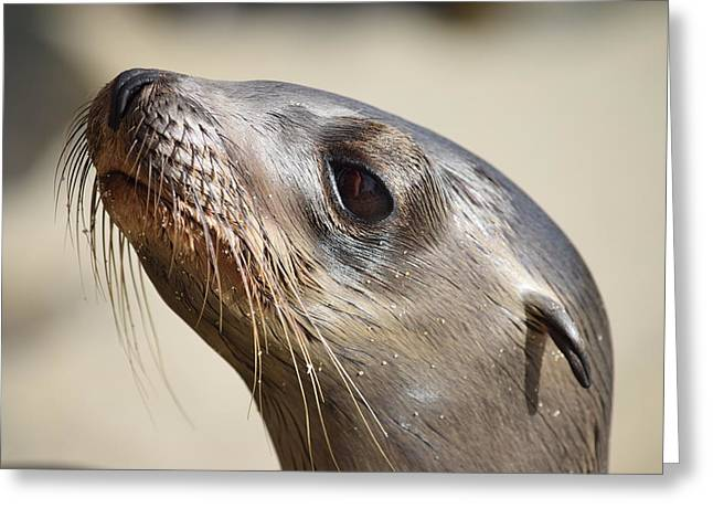 California Sea Lions Greeting Cards - Sea Lion Pup Greeting Card by Eric Johansen