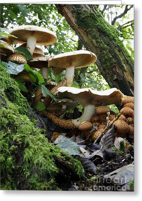 Shaggy Pholiota Fungi Greeting Card by Dr. Keith Wheeler