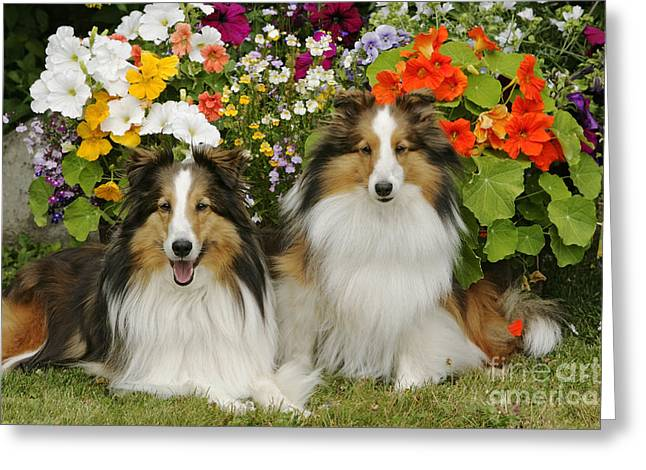 Best Friend Greeting Cards - Shetland Sheepdogs Greeting Card by Rolf Kopfle