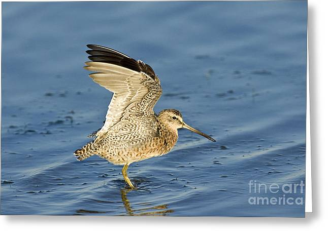 Stretching Wings Greeting Cards - Short-billed Dowitcher Greeting Card by Anthony Mercieca