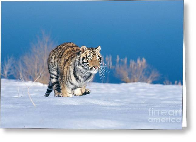 Siberian Tiger Greeting Card by Alan Carey