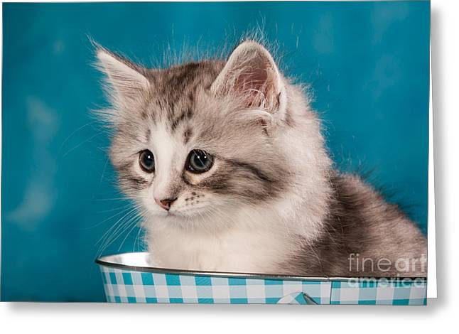 sibirian cat kitten Greeting Card by Doreen Zorn