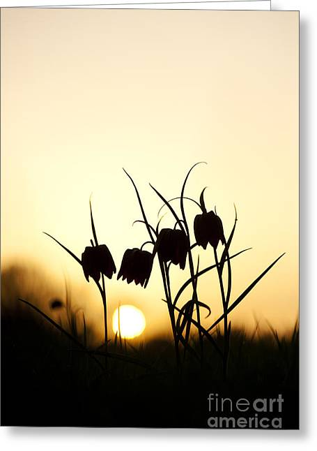 Fritillaria Greeting Cards - Snakes head fritillary flowers at sunset Greeting Card by Tim Gainey