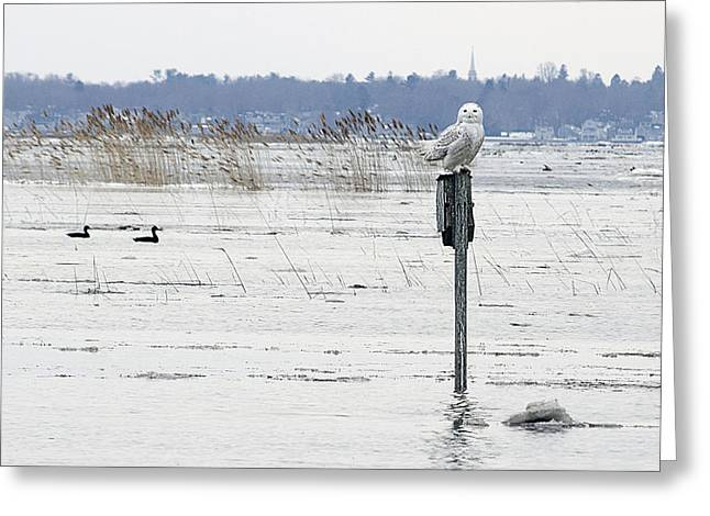 Framed Winter Snow Photograph Greeting Cards - Snow Owl Greeting Card by Rick Mosher