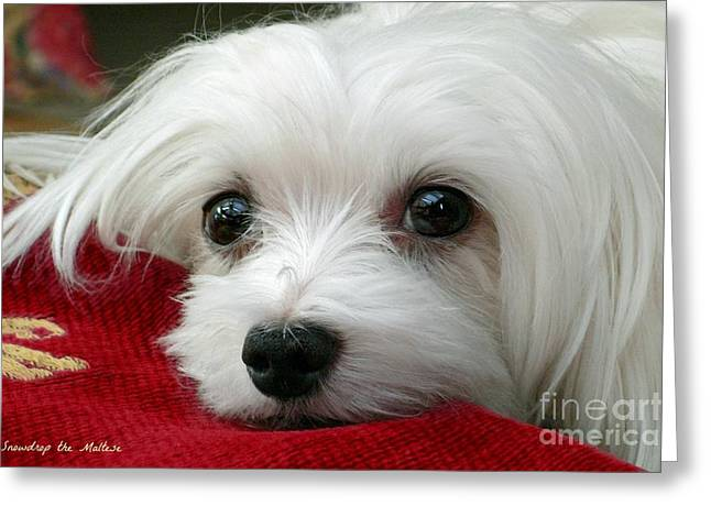 Maltese Dog Greeting Cards - Snowdrop the Maltese Greeting Card by Morag Bates