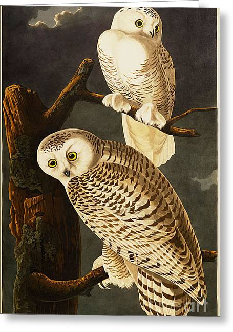 Wild Life Drawings Greeting Cards - Snowy Owl Greeting Card by Celestial Images