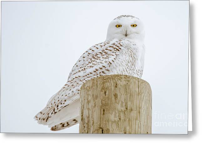 Hunting Bird Greeting Cards - Snowy Owl Perfection Greeting Card by Cheryl Baxter