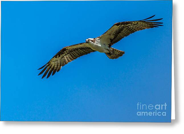 Haybale Greeting Cards - Soaring Osprey Greeting Card by Robert Bales