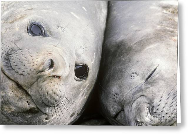 Ocean Mammals Greeting Cards - Southern Elephant Seals Greeting Card by Art Wolfe