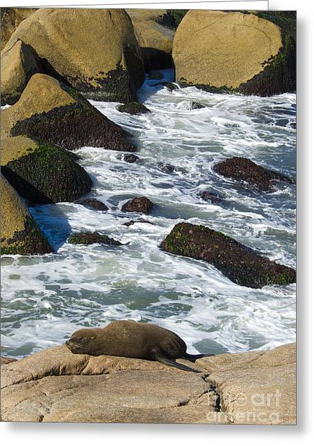 Southern Sea Lion Greeting Card by William H. Mullins
