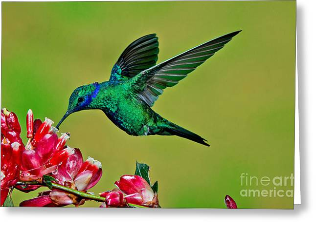 Hovering Greeting Cards - Sparkling Violetear Greeting Card by Anthony Mercieca