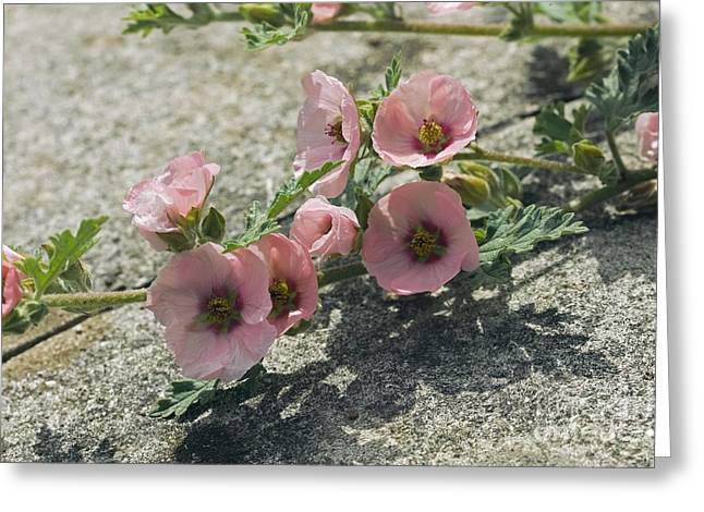 Sphaeralcea Greeting Cards - Sphaeralcea Munroana Greeting Card by Dr. Keith Wheeler