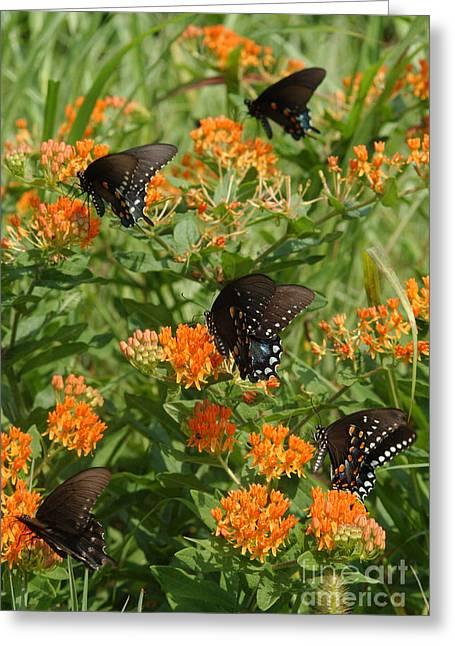 Spicebush Swallowtail Greeting Cards - Spicebush Swallowtail Butterflies Greeting Card by Susan Leavines