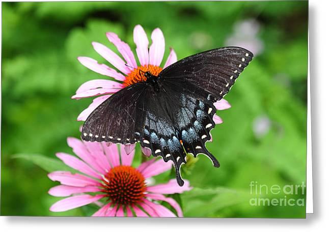 Spicebush Swallowtail Greeting Cards - Spicebush Swallowtail Butterfly Greeting Card by James Brunker