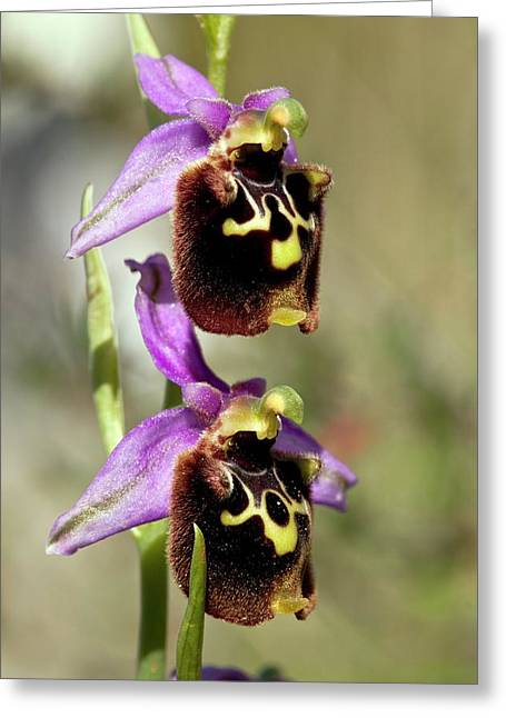 Spider Orchid (ophrys Orphanidea) Flower Greeting Card by Bob Gibbons