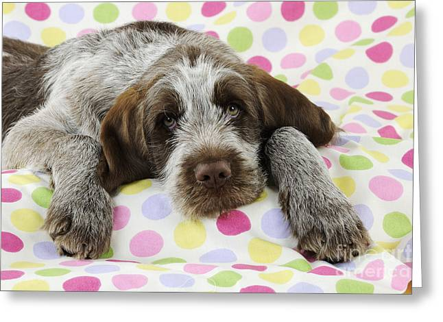 On Blanket Greeting Cards - Spinone Puppy Dog Greeting Card by John Daniels