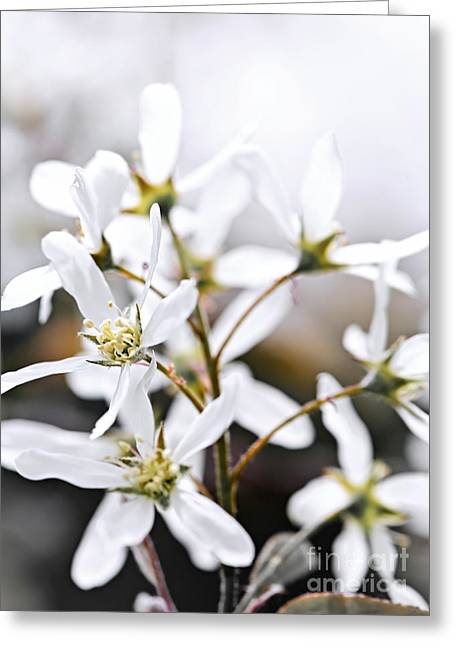 White Photographs Greeting Cards - Spring flowers Greeting Card by Elena Elisseeva