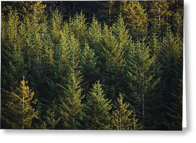 Kodiak Island Greeting Cards - Spruce Tree Forest In Autumn, Kodiak Greeting Card by Kevin Smith