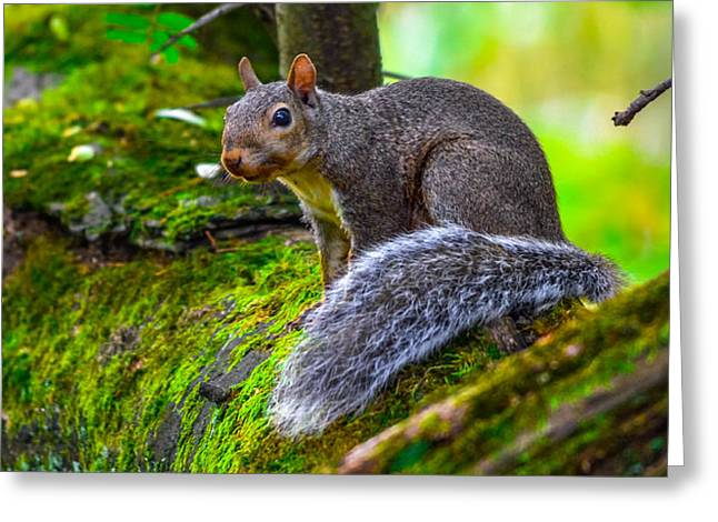 Sciurus Carolinensis Greeting Cards - Squirrel Greeting Card by Brian Stevens