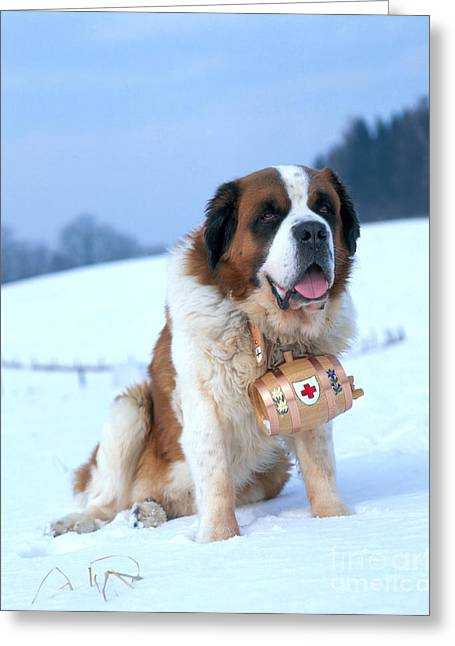 Breeds Greeting Cards - St. Bernard Greeting Card by Hans Reinhard