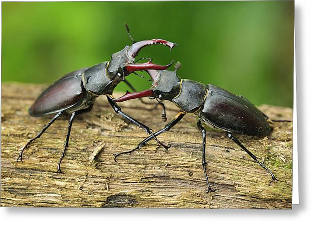 Thomas Marent Greeting Cards - Stag Beetle Fighting Switzerland Greeting Card by Thomas Marent