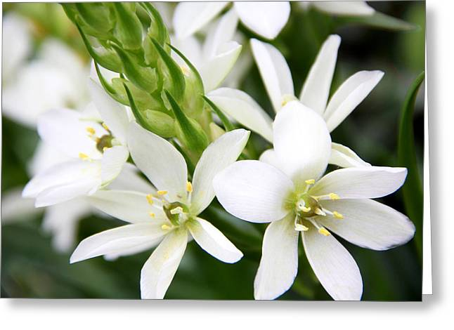 Star Of Bethlehem Greeting Cards - Star of Bethlehem Greeting Card by Erin McCandless