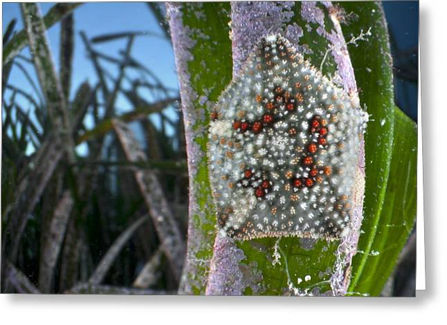 Starfish on Neptune grass Greeting Card by Science Photo Library