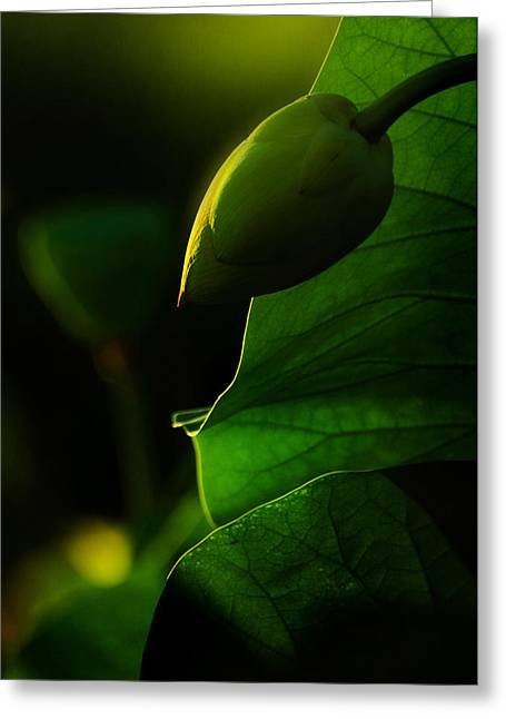 Lotus Bud Greeting Cards - Still Sleeping Greeting Card by Rebecca Sherman