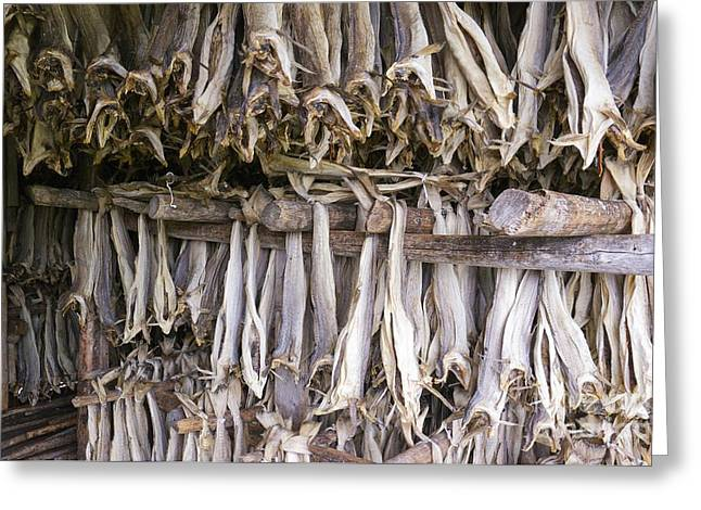 Drying Rack Greeting Cards - Stockfish, Norway Greeting Card by Dr Juerg Alean