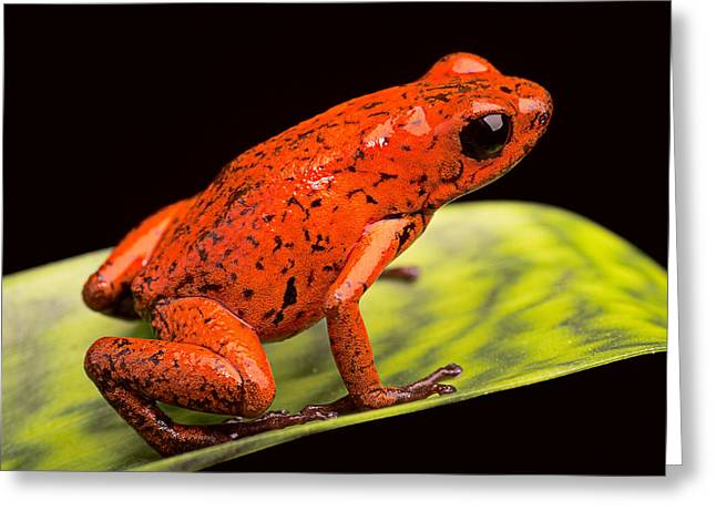 Costa Greeting Cards - Strawberry Poison Dart Frog Greeting Card by Dirk Ercken