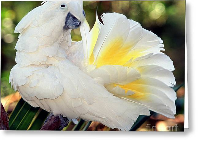 White Cockatoo Greeting Cards - Sulfur-crested Cockatoo Greeting Card by Millard H. Sharp