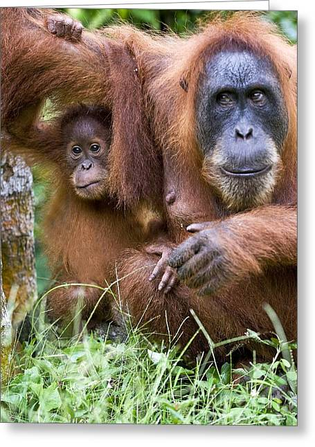 Sumatran Orang-utan Greeting Cards - Sumatran Orangutans Greeting Card by Tony Camacho