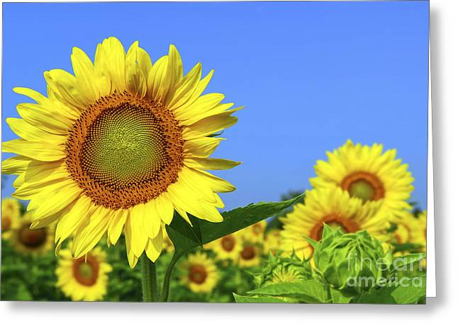 Summertime Greeting Cards - Sunflower field Greeting Card by Elena Elisseeva