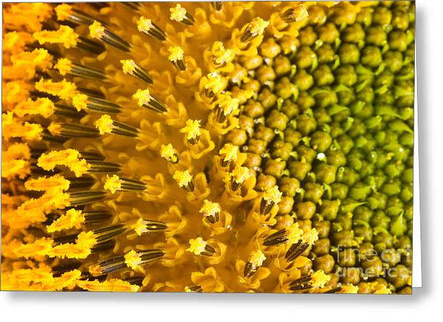 Mythja Greeting Cards - Sunflower petals Greeting Card by Mythja  Photography