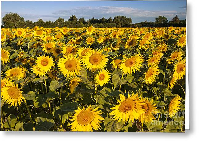 Saint-remy De Provence Greeting Cards - Sunflowers at Dawn Greeting Card by Brian Jannsen