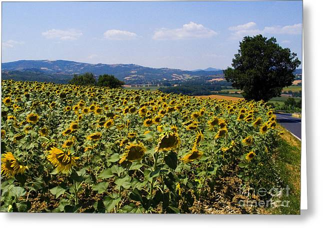 Marciano Greeting Cards - Sunflowers Greeting Card by Tim Holt