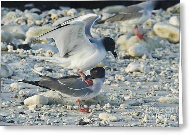 Swallow Tail Greeting Cards - Swallow-tailed Gulls Mating Greeting Card by William H. Mullins