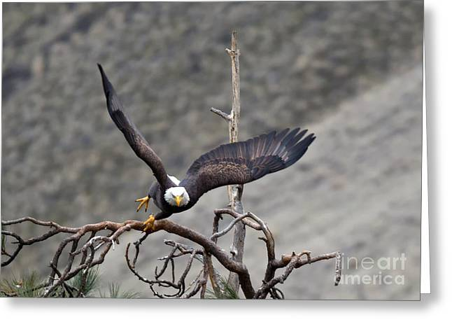 Eagle Greeting Cards - Take-off Greeting Card by Mike Dawson