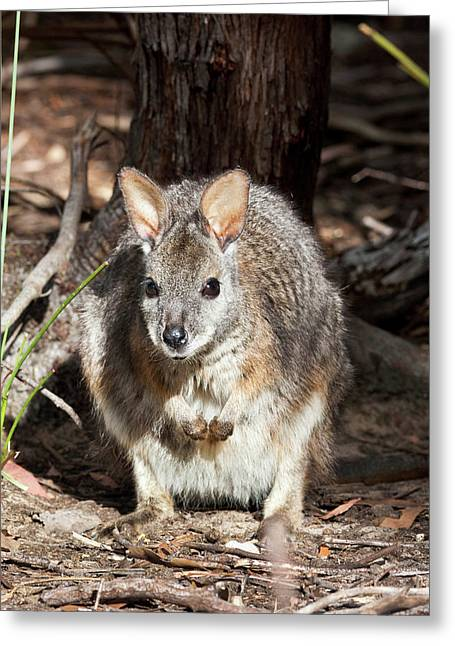 Tammar Wallaby (macropus Eugenii Greeting Card by Martin Zwick